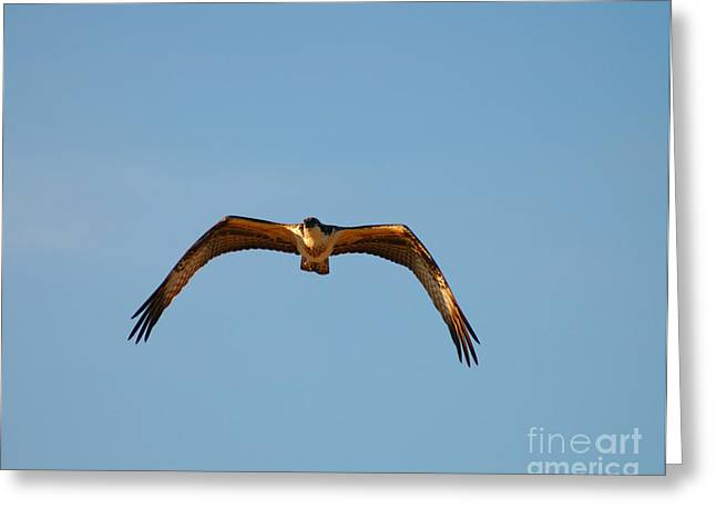 Bruster Greeting Cards - Bird of Prey Greeting Card by Clayton Bruster