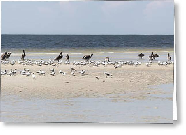 Tern Greeting Cards - Birds on a Sandbar Panorama Greeting Card by Darrell Hutto