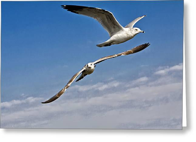 Flying Seagull Greeting Cards - Birds on The Wing Greeting Card by Tim Wilson