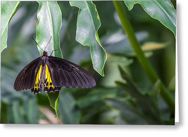 Photogrpah Greeting Cards - Birdwing Greeting Card by Calazones Flics
