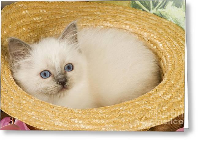 Cats Birman Greeting Cards - Birman Cat In Hat Greeting Card by Jean-Michel Labat