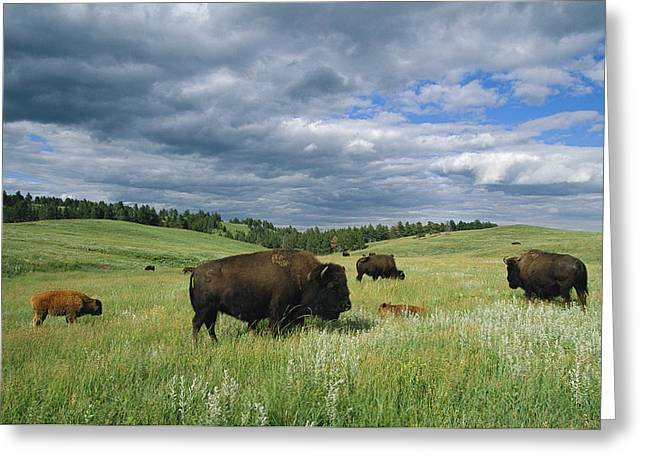 Groups Of Animals Greeting Cards - Bison And Their Calves Graze In Custer Greeting Card by Annie Griffiths