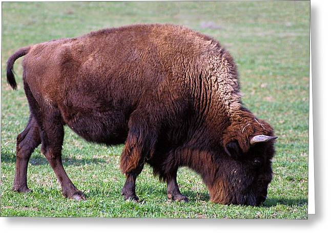Buffalo Greeting Cards - Bison At Home Alone  Greeting Card by Linda Phelps