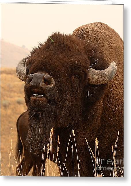 Bison Bellowing At The Sky Greeting Card by Max Allen