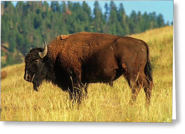 Bison Bull In The Late Evening Magic Light Greeting Card by Jerry Voss