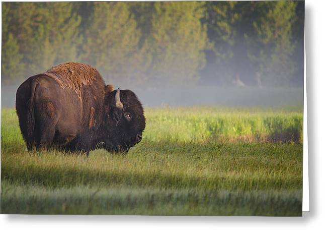 Green Forest Greeting Cards - Bison In Morning Light Greeting Card by Sandipan Biswas