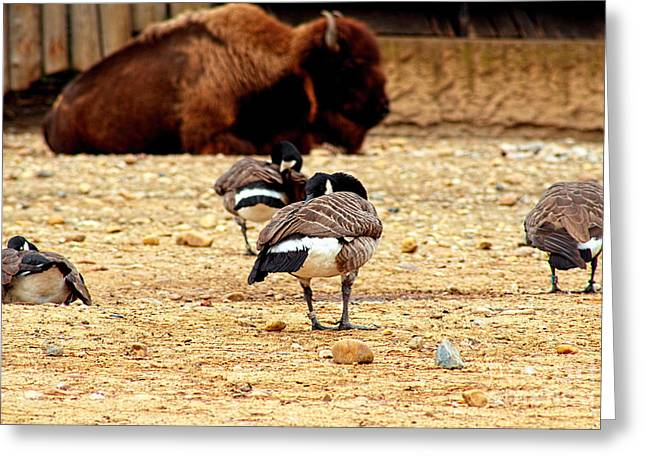 Wall Art Bird Wall Are Greeting Cards - Bisons Birds Greeting Card by Bridget Jones