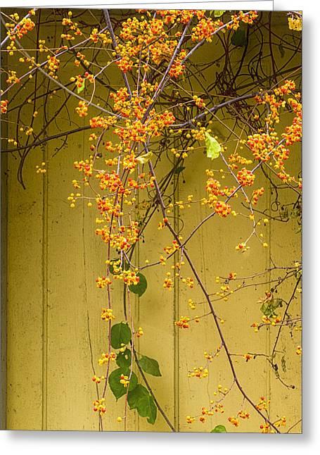 Bittersweet Vine Greeting Card by Tom Singleton