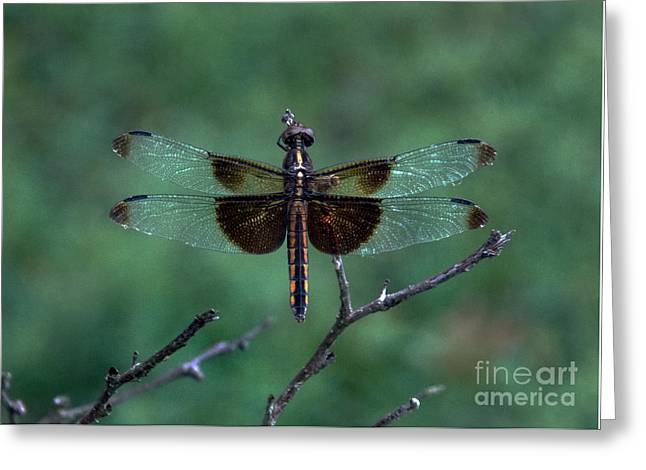 Spider And Fly Greeting Cards - Dragon Black And Glass Greeting Card by Skip Willits