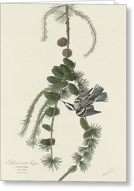 Creepers Greeting Cards - Black and White Creeper Greeting Card by John James Audubon