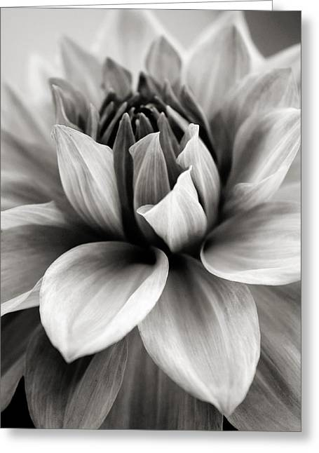 Bw Greeting Cards - Black and White Dahlia Greeting Card by Danielle Miller