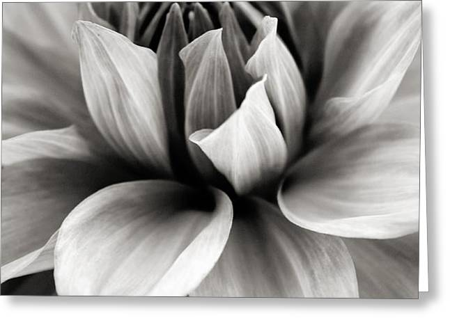 Black and White Dahlia Greeting Card by Danielle Miller