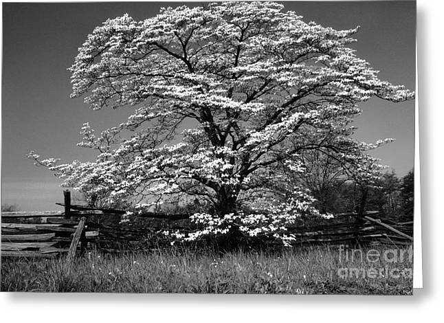 Cornus Greeting Cards - Black and White Dogwood Rail Fence Greeting Card by Thomas R Fletcher