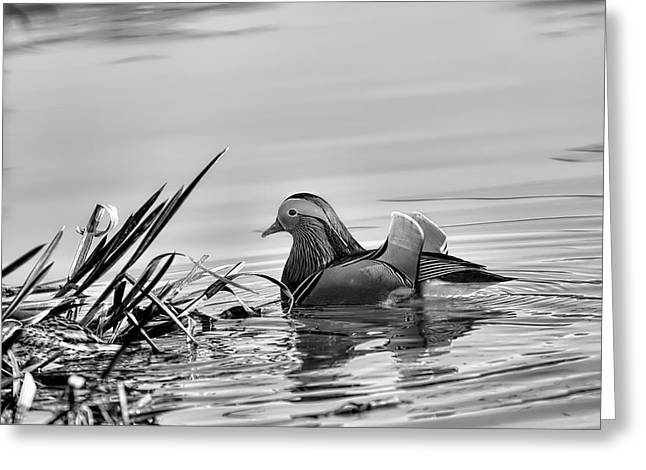 Water Fowl Greeting Cards - Black and white monochrome Male mandarin duck Greeting Card by Leif Sohlman