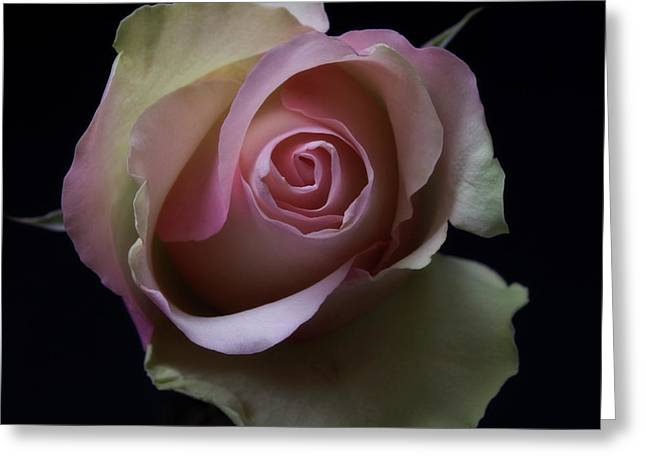 Black And White Pink Flowers Roses Macro Photography Art Work Greeting Card by Artecco Fine Art Photography