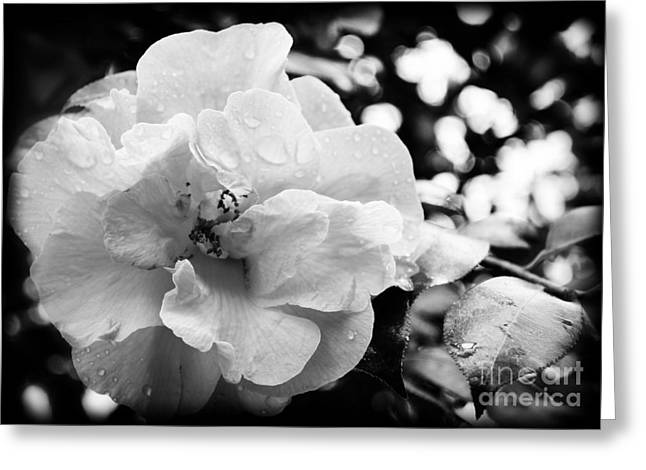 Greeting Cards - Black and White Rose of Sharon Greeting Card by Eva Thomas