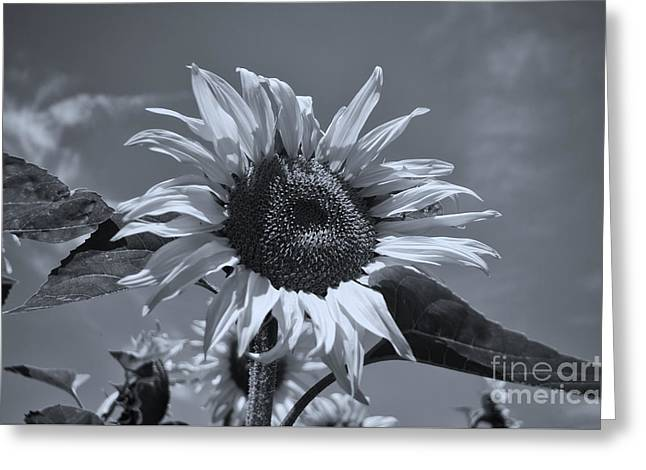 Nature Scene Greeting Cards - Black And White Sunflower Greeting Card by Michelle Meenawong