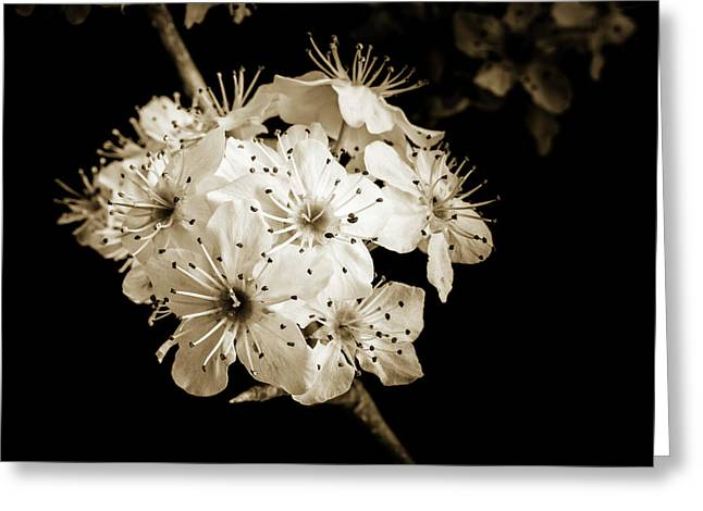 Black And White Wild Plum Blooms 5536.01 Greeting Card by M K  Miller