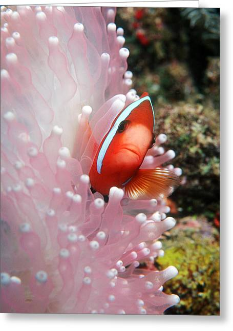 Sea Anemone Greeting Cards - Black Anemone Fish Greeting Card by Georgette Douwma