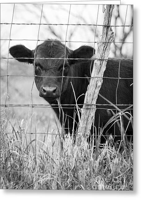 Black Angus Calf Greeting Cards - Black Angus Calf Greeting Card by Imagery by Charly