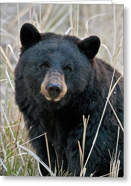 Black Greeting Cards - Black Bear closeup Greeting Card by Gary Langley