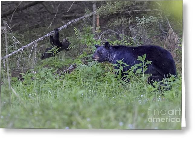 Black Bear Climbing Tree Greeting Cards - Black bear cub climbing on limb Greeting Card by Dan Friend
