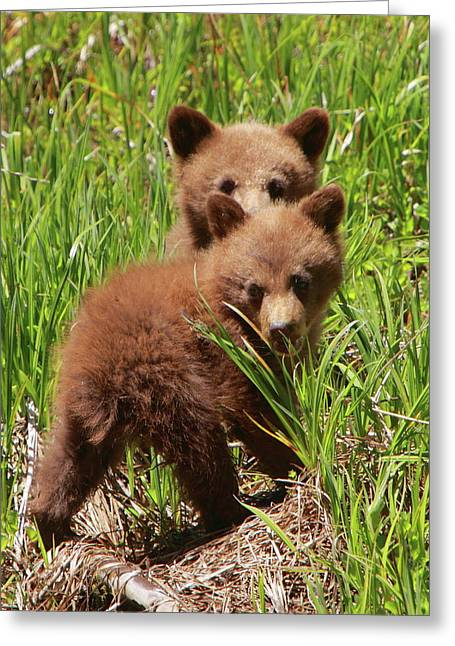Sequoia National Park Greeting Cards - Black Bear Cubs Greeting Card by Bruce J Robinson