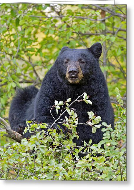 Black Berries Greeting Cards - Black Bear  eating berries Greeting Card by Gary Langley