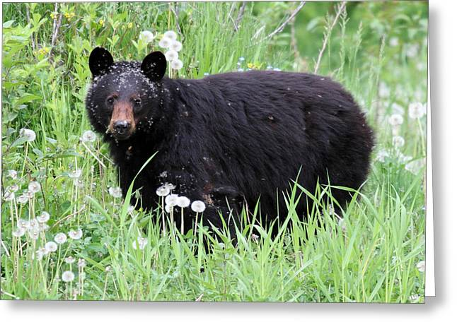 Hibernation Greeting Cards - Black Bear in the Dandelion Whistler Greeting Card by Pierre Leclerc Photography