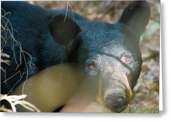 Critter Greeting Cards - Black Bear Oh My Greeting Card by Betsy C  Knapp