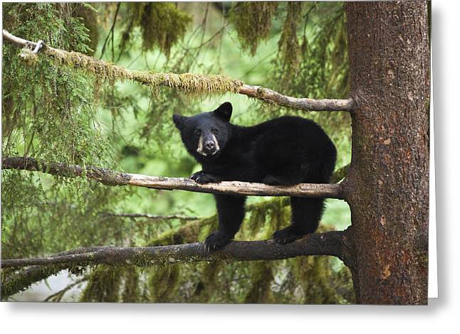 Tongass Greeting Cards - Black Bear Ursus Americanus Cub In Tree Greeting Card by Matthias Breiter