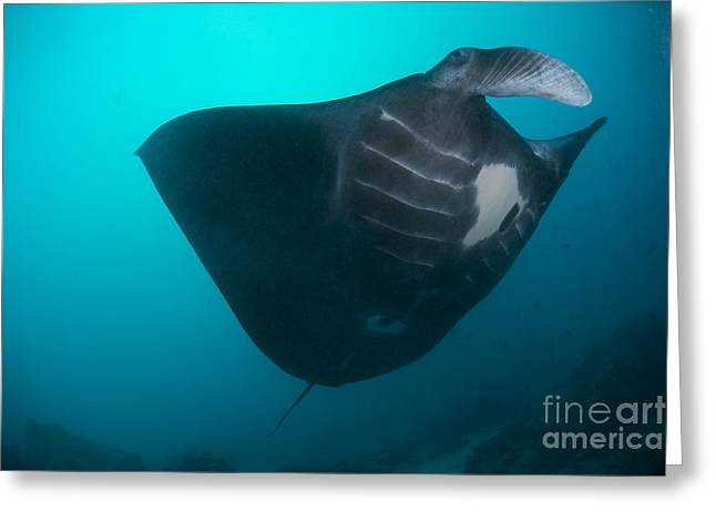 Ray Fish Greeting Cards - Black-bellied Manta Ray Taking Off Greeting Card by Mathieu Meur