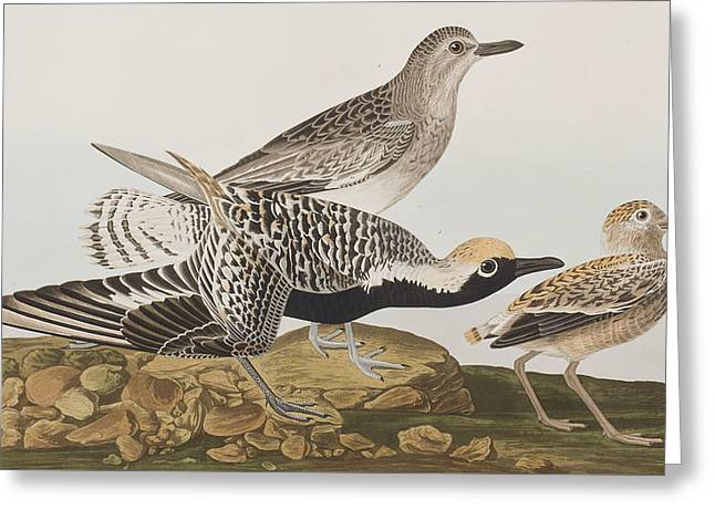 Taxonomy Greeting Cards - Black Bellied Plover Greeting Card by John James Audubon