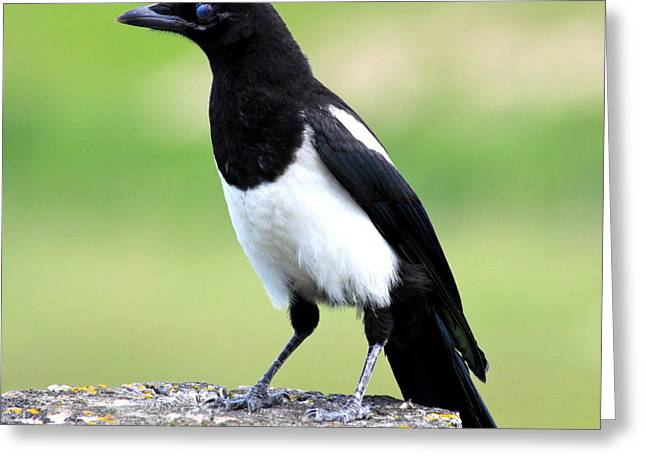 Pica Greeting Cards - Black-billed Magpie Greeting Card by Karon Melillo DeVega