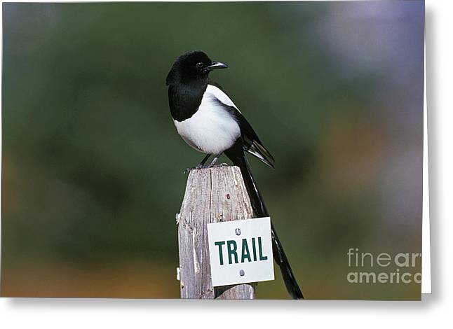 Black-billed Magpie Pica Pica Greeting Card by Gerard Lacz