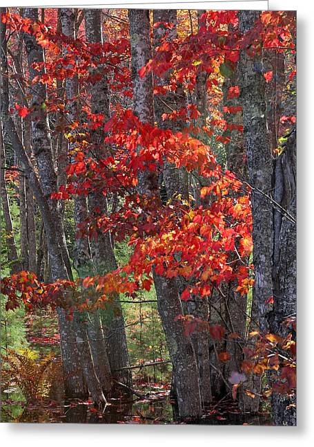 Autum Greeting Cards - Black Birch Tree Splendor Greeting Card by Juergen Roth