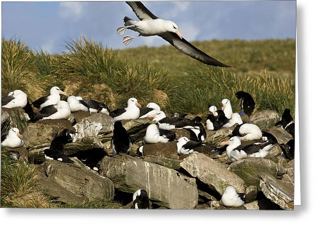 Diomedea Melanophris Greeting Cards - Black-browed Albatross Colony Greeting Card by Jean-Louis Klein & Marie-Luce Hubert