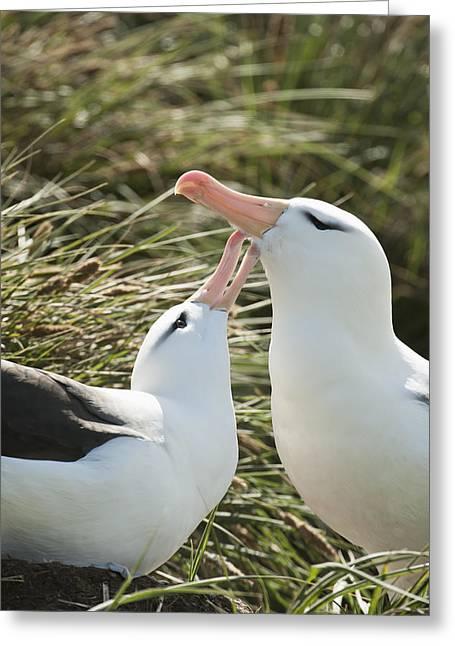 Falklands Greeting Cards - Black-browed Albatrosses  Thalassarche Greeting Card by Daisy Gilardini