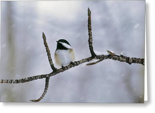 Cold Day Greeting Cards - Black-capped Chickadee, Alberta Greeting Card by Darwin Wiggett