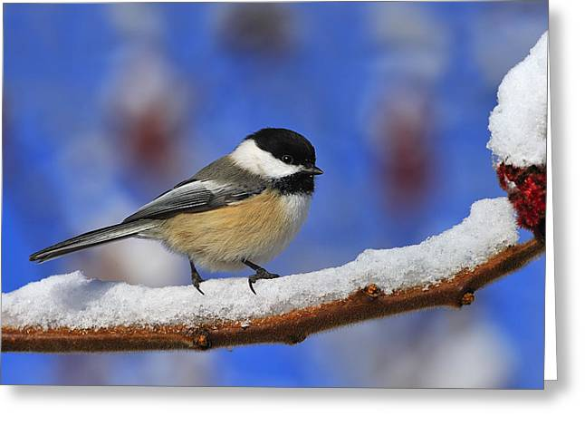 Chickadee Greeting Cards - Black-capped Chickadee in Sumac Greeting Card by Tony Beck