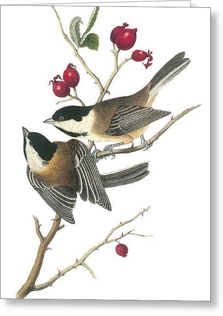 American Birds Greeting Cards - Black-capped Chickadee Greeting Card by John James Audubon