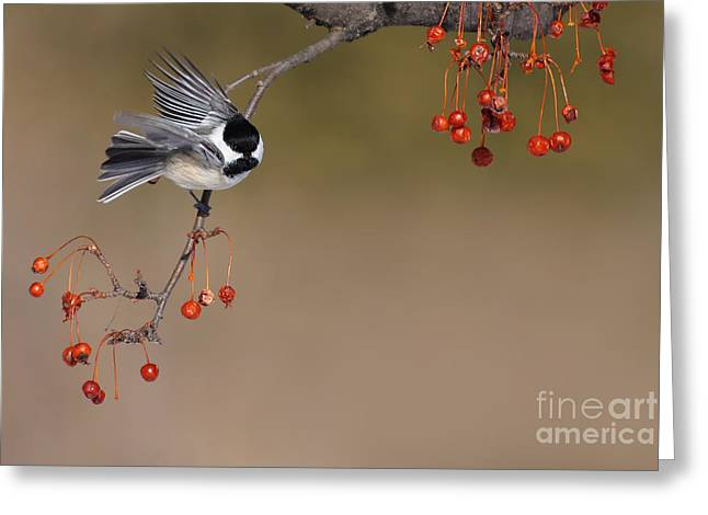 Black Berries Greeting Cards - Black-capped Chickadee Greeting Card by Mircea Costina Photography