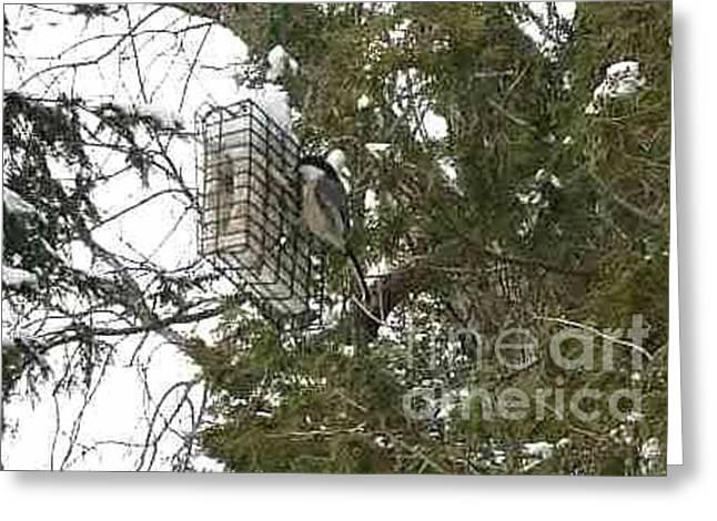 Bird Art Greeting Cards - Black Capped Chickadee Feeding on Suet  Greeting Card by Anthony Morretta