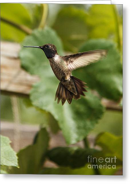Trochilidae Greeting Cards - Black-chinned Hummingbird Greeting Card by Robert Bales
