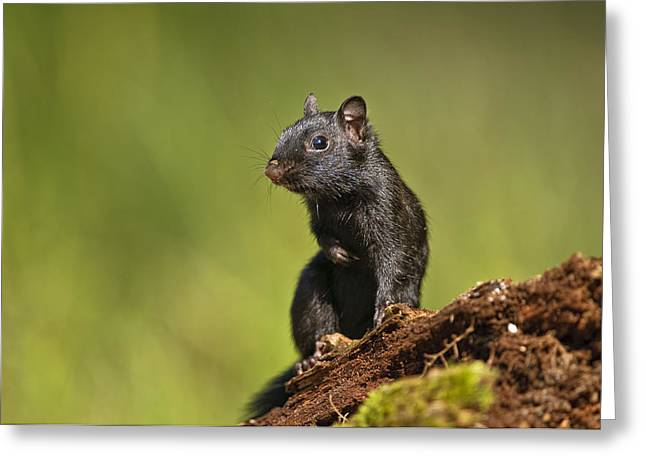 Michael Cummings Greeting Cards - Black Chipmunk on Log Greeting Card by Michael Cummings