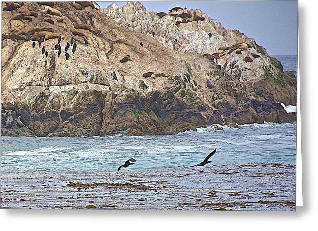 Sea Lions Greeting Cards - Black Cormorants along Pacific Coast near 17 Mile Drive to Pebble Beach-California  Greeting Card by Ruth Hager