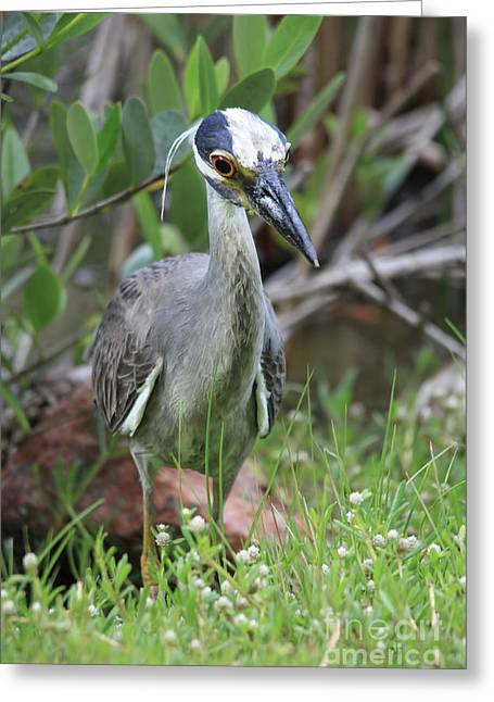 Crowned Heron Greeting Cards - Black Crown At Buschman Greeting Card by Deborah Benoit