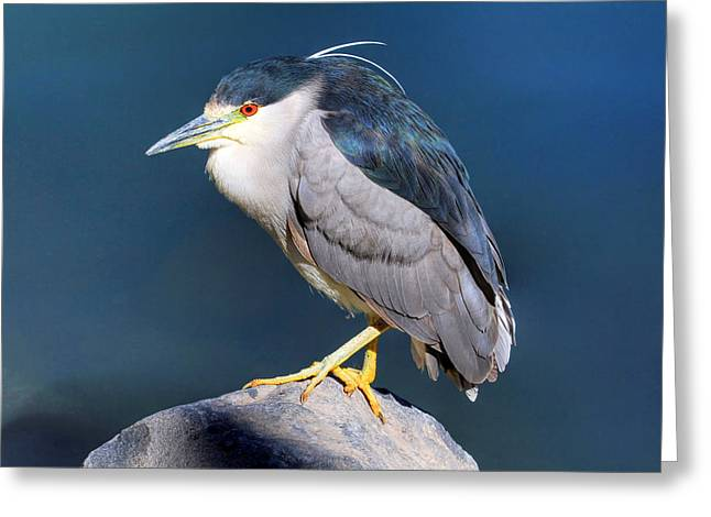 Crowned Heron Greeting Cards - Black-crowned Night Heron Greeting Card by Donna Kennedy