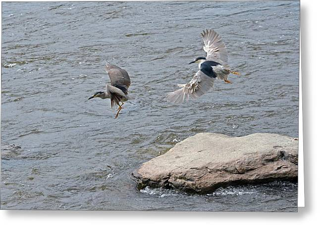 Couronne Greeting Cards - Black-crowned Night-Herons in-flight over the river Greeting Card by Asbed Iskedjian