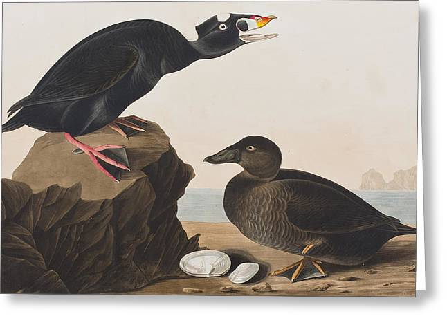 Seashell Drawings Greeting Cards - Black Duck or Surf Duck Greeting Card by John James Audubon